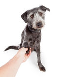 Friendly Dog Shaking Hands With Person Royalty Free Stock Photo