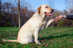 Friendly dog. White friendly doggy gives paw stock photography