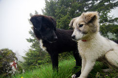 Friendly dogs. Two friendly stray dogs up in the mountains. Ciucas Mountains, Romania Royalty Free Stock Photography