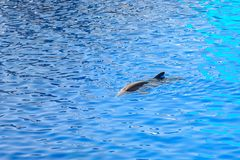 Friendly Dolphin In Water. Friendly Dolphin In Blue Water Stock Image