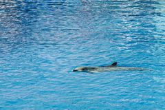 Friendly Dolphin In Water. Friendly Dolphin In Blue Water Royalty Free Stock Image