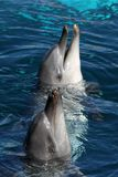 Friendly Dolphins stock image