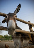 Friendly Donkey. A donkey looking at the camera with ears in a weird and funny position Royalty Free Stock Photos