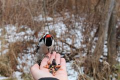Downey Woodpecker eating from hand Royalty Free Stock Images