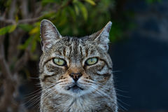 Friendly dun cat portrait Stock Photography