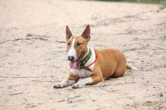 Friendly english bull terrier resting on the ground Royalty Free Stock Photo