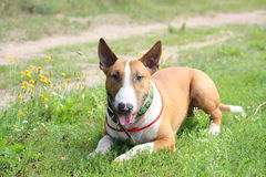 Friendly english bull terrier resting on the ground Stock Photo