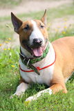 Friendly english bull terrier resting on the ground Royalty Free Stock Photos