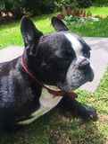 The Friendly Face of a Boston Terrier royalty free stock images