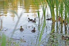Ducklings on the lake in natural habitat. Friendly family of ducklings on the lake. Summer sunny evening. Ducklings in natural habitat stock image