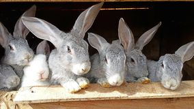 A friendly family of rabbits royalty free stock images