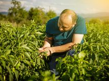 Friendly farmer harvesting fresh vegetables from the garden and Stock Image