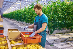 Friendly farmer at work in greenhouse. Royalty Free Stock Photography