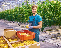 Friendly farmer at work in greenhouse. Stock Photography