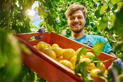 Friendly farmer at work in greenhouse.  Stock Images