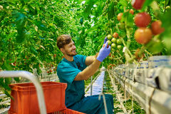 Friendly farmer at work in greenhouse Royalty Free Stock Photo