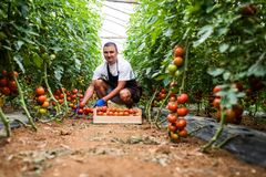 Friendly farmer at work in greenhouse. Young man picking fresh tomato in wooden boxes for sale royalty free stock photography