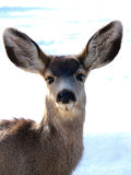 Friendly Fawn. Curious young mule deer out in the winter snow stock photography
