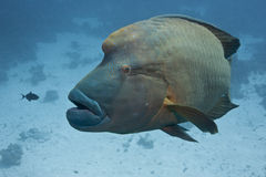 Friendly fish napoleon Royalty Free Stock Photo