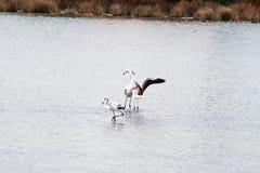 Friendly flamingos Stock Photos