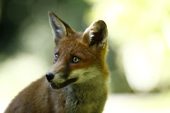 Friendly Fox Stock Photos