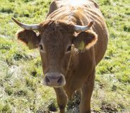 Friendly ginger bull cow frontal view close up head on green grass in sun light royalty free stock photo