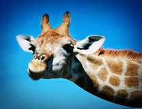 Friendly Giraffe. Giraffe looking straight at camera Stock Photography