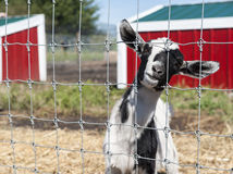 Friendly Goat Stock Images