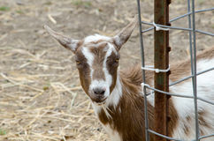 Friendly goat at a petting farm Stock Images
