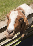 Friendly Goat Royalty Free Stock Photo
