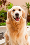 Friendly Golden Retriever Royalty Free Stock Photo