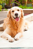 Friendly Golden Retriever Royalty Free Stock Photos