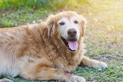 Friendly golden retriever dog is lay down and relaxing in the garden stock photo