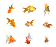 Friendly Goldfishes Set Royalty Free Stock Photos