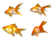 Friendly Goldfishes Set Stock Image