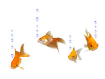 Friendly goldfishes with water bubbles Royalty Free Stock Image