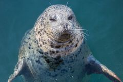 Seal closeup emerging from the water royalty free stock photo