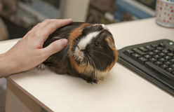 Friendly guinea pig Royalty Free Stock Photography