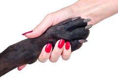 Friendly handshake of dog and girl. On a white background Stock Photo
