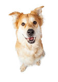 Friendly and Happy Large Crossbreed Dog Royalty Free Stock Photo