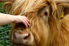 Friendly Highland cow. Angus is happy to be stroked, scratched, combed and made a fuss of Stock Photos