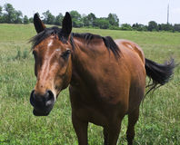 Friendly Horse. Friendly brown/red horse standing in a field. Horse was/is 'talking' to the photographer Royalty Free Stock Photos