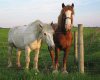 Friendly Horses. Amish Workhorses in an Ohio field Royalty Free Stock Image