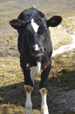 Friendly and inquisitive calf Stock Image