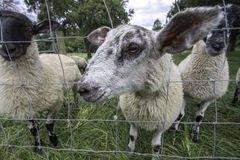 Friendly inquisitive sheep Royalty Free Stock Photos