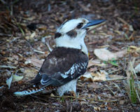 Friendly Kookaburra, rear view, horizontal Royalty Free Stock Photo