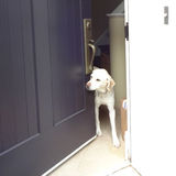 Friendly Labrador at the Front Door. A friendly yellow lab greets visitors at the front door royalty free stock images