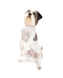 Friendly Lhasa Apso Dog Begging Stock Image