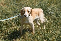 Friendly light brown dog being afraid, scared dog on a walk in t. He park, animal shelter concept Stock Photography