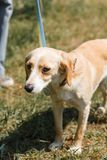 Friendly light brown dog being afraid, scared dog on a walk in t. He park, animal shelter concept Royalty Free Stock Image